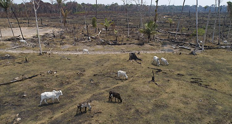Djur betar på mark som huggits ner.