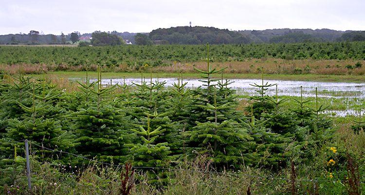 Bilden visar en stor odling i Danmark. Där odlas granar till julen.
