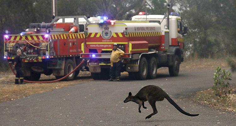 Brandbilar i bakgrunden. I förgrunden hoppar en liten känguru över vägen.