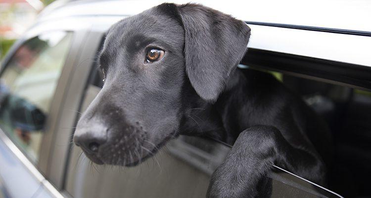 Svart hund tittar ut ur en bil