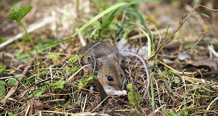 En närbild på en liten grus mus som sitter i en gräsmatta. Gräsmattan har både bruna och gröna strån.