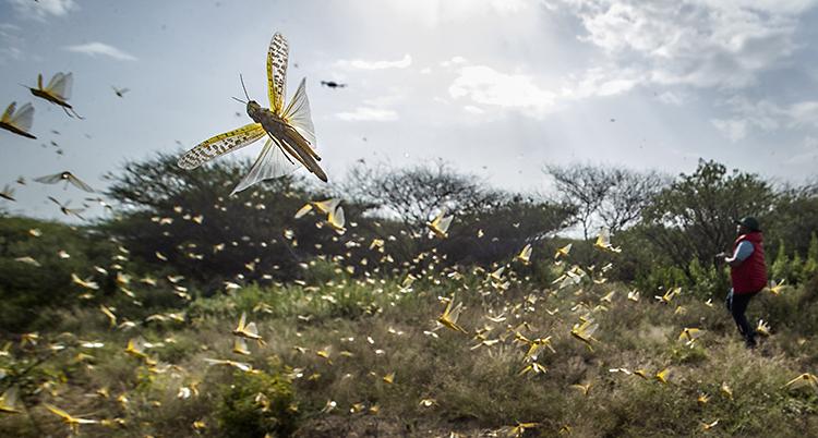 Miljoner gräshoppor flyger i luften.