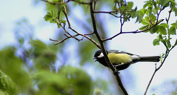 En talgoxe sitter på en gren. Den är gul och svart. Det är gröna blad i bakgrunden.
