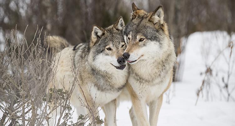 Två vargar kelar med varandra