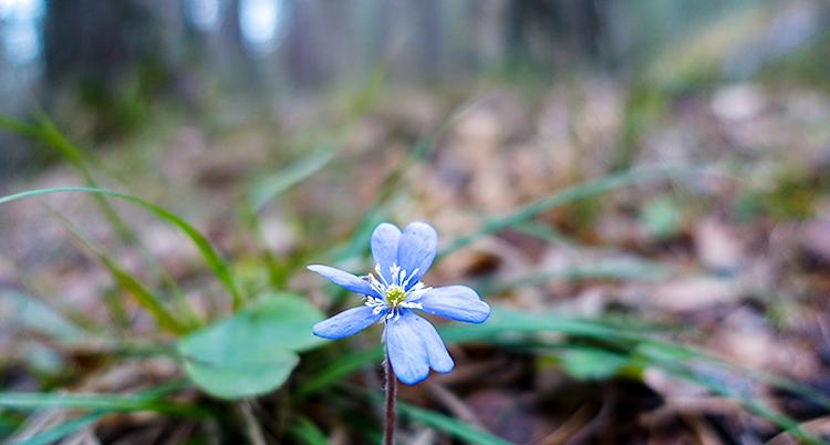 En blåsippa står i en skog