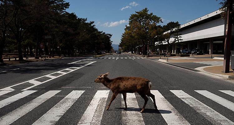 Hjorten går på ett övergångsställe över en gata.