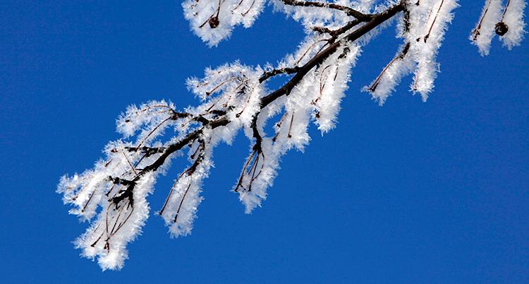 Bilden visar en gren på ett träd. Grenen är vit av frost. I bakgrunden är himlen blå.