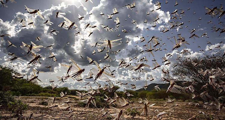 Massor av gräshoppor flyger i luften.