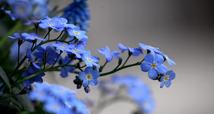 En gren med blåa små blommor