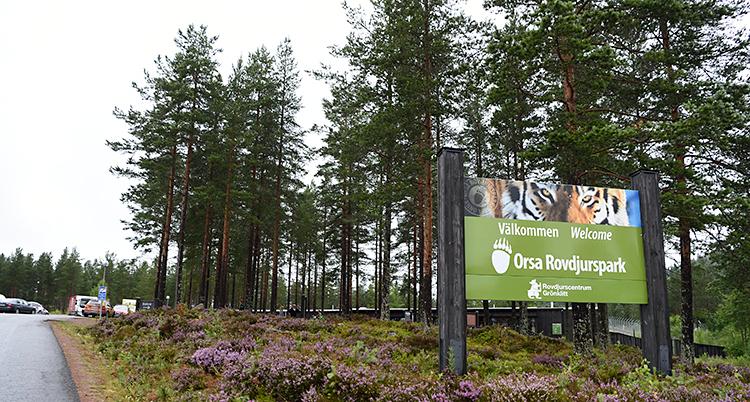 Bilden är tagen utomhus. Den visar en väg till en parkering. Bredvid vägen finns det träd och en skylt. På skylten står det Välkommen till Orsas rovdjurspark.