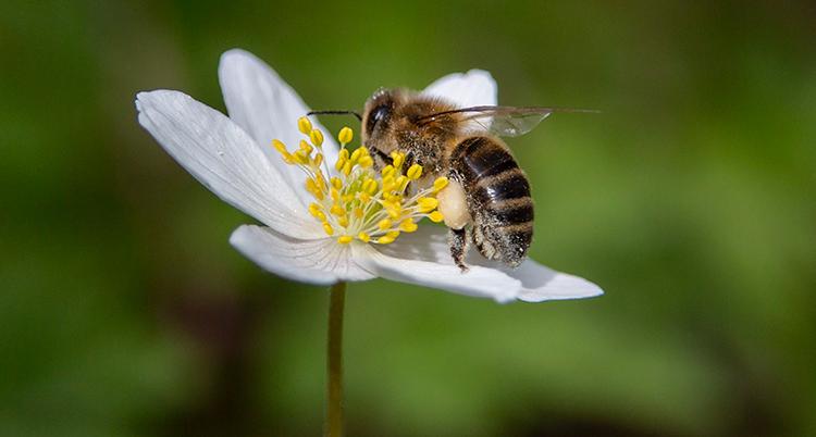 Ett bi på en blomma.