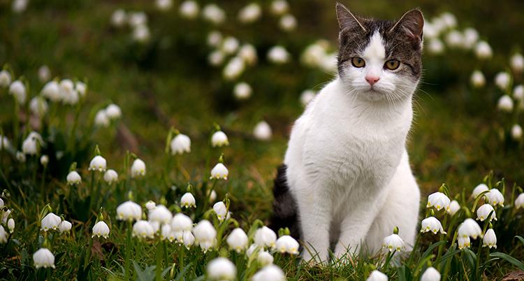 en vit katt med bruna öron på en sommaräng.