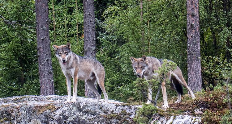 Två vargar på ett berg. Skog i bakgrunden
