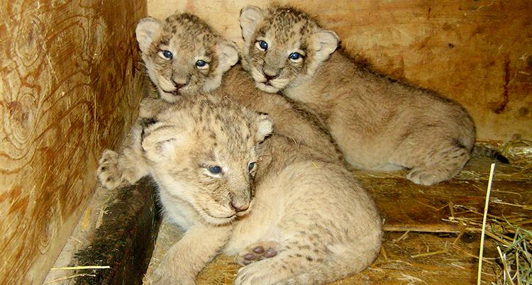 Tre asiatiska lejonungar sitter och vilar inomhus på Parken Zoo.