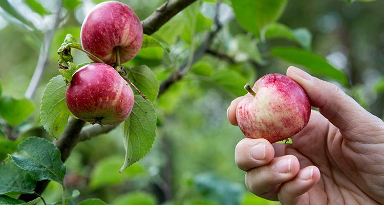 en hand plockar ett äpple från ett träd.
