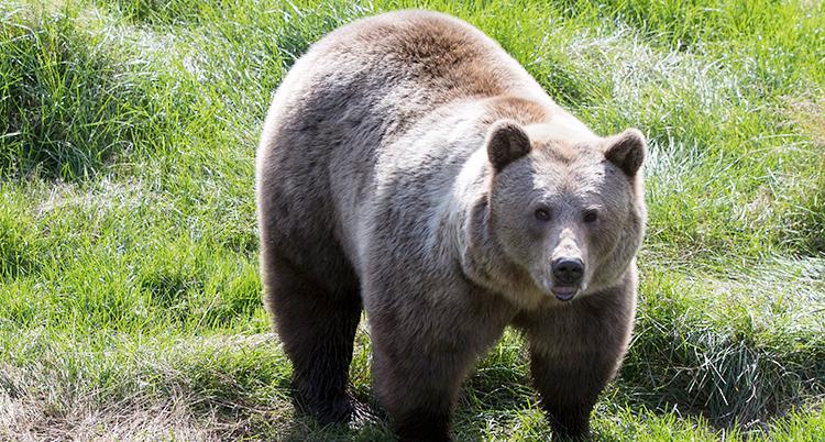 En brunbjörn står i det gröna gräset. Det ser ut som att den tittar mot kameran.