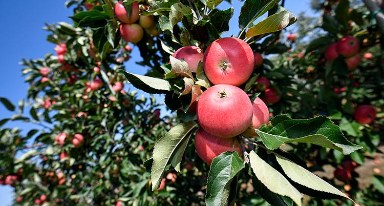 Röda äpplen på en gren. Bakom syns flera. Himlen är blå.