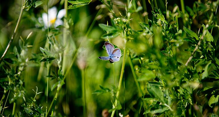 Blommor och högt gräs. En blå fjäril flyger mitt i bilden.