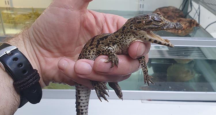 En hand håller i en krokodilunge