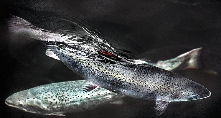 Två fiskar syns på bilden. Bakgrunden är svart.