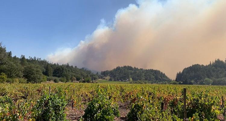 Rader med gröna vinrankor. I horisonten syns tjock brandrök.