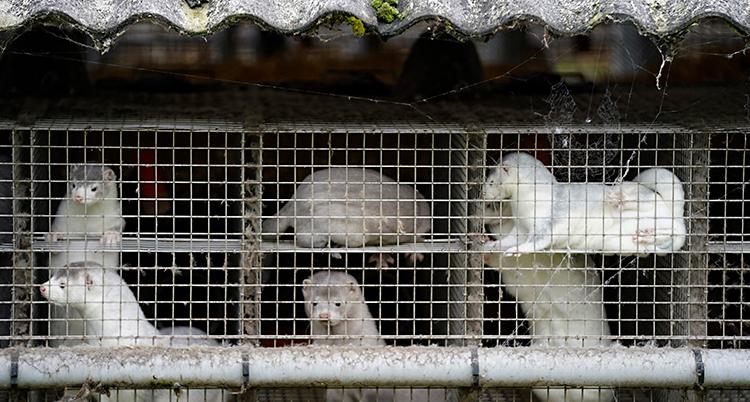 Vi ser sex vita minkar. De sitter i varsin bur.