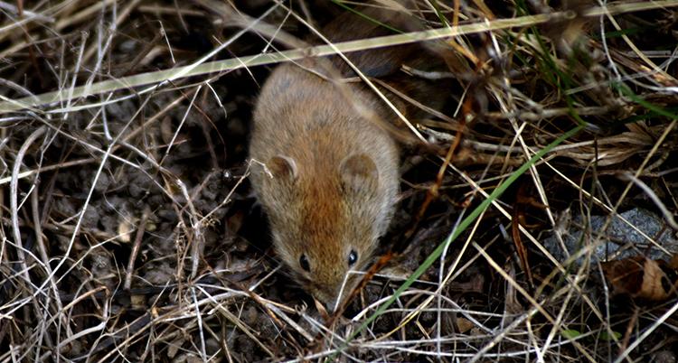En liten brun mus som finns bland brunt torrt gräs.