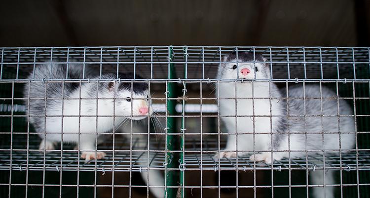 Två minkar i en bur. Djuren är vita och grå. De har en rosa nos.