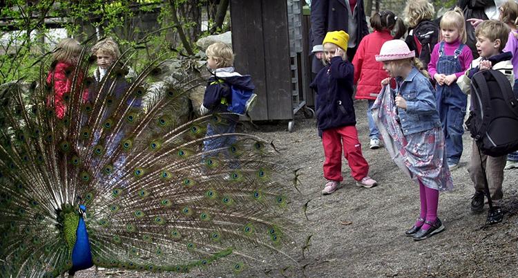 Barn som titar på en påfågel som spänt up alla sina fjäfdrar. det ser ut som en solfjäder.
