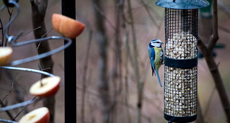 En blåmes sitter på en fågelmatare och pickar i sig frön. Till vänster finns äppelbitar fastsatta på en fågelmatare.