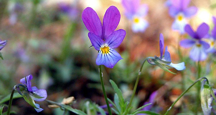Vi ser blomman styvmorsviol. Den är lila och lite gul i mitten.