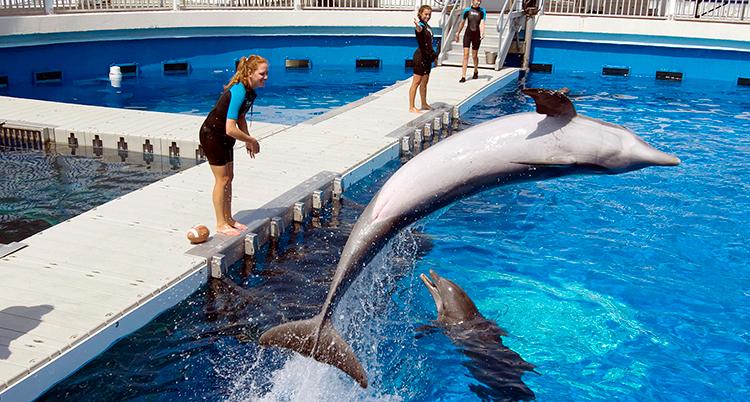 Delfinen hoppar högt upp ovanför vattnet.