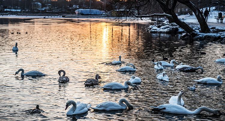 Solnedgång över en sjö. Ljuset är gult. På stränderna är det snö. På vattnet simmar omkring 20 svanar.Framför kameran