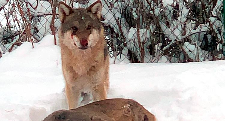 En suddig bild. En varg tittar in i kameran. Han har blod på nosen. Framför den ligger ett dött djur. Det är snö.