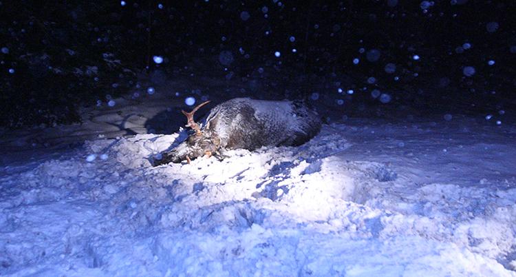 Ett dött djur ligger i snön. Det är kväll och mörkt.