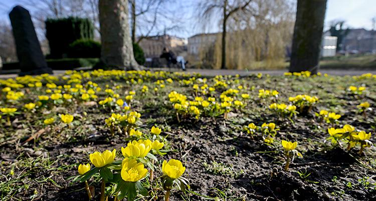 Bilden är tagen på en kyrkogård i Malmö. På marken växer det gula blommor. Blommorna heter vintergäck.