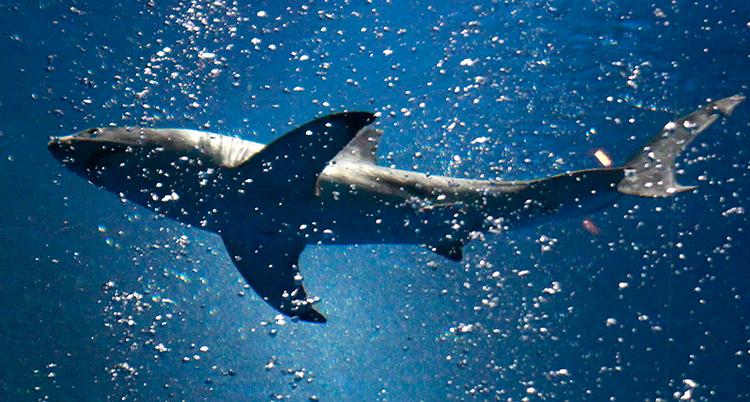 En haj simmar. Vattnet och blått och fullt av bubblor. Bilden är tagen i ett akvarium.