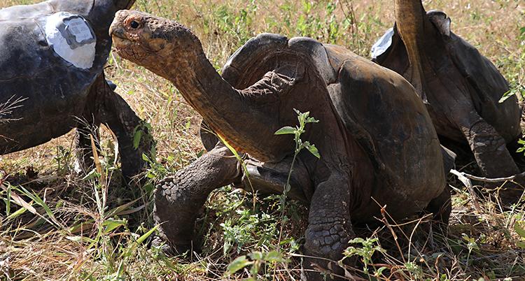 Ecuador Galapagos Tortoises Released