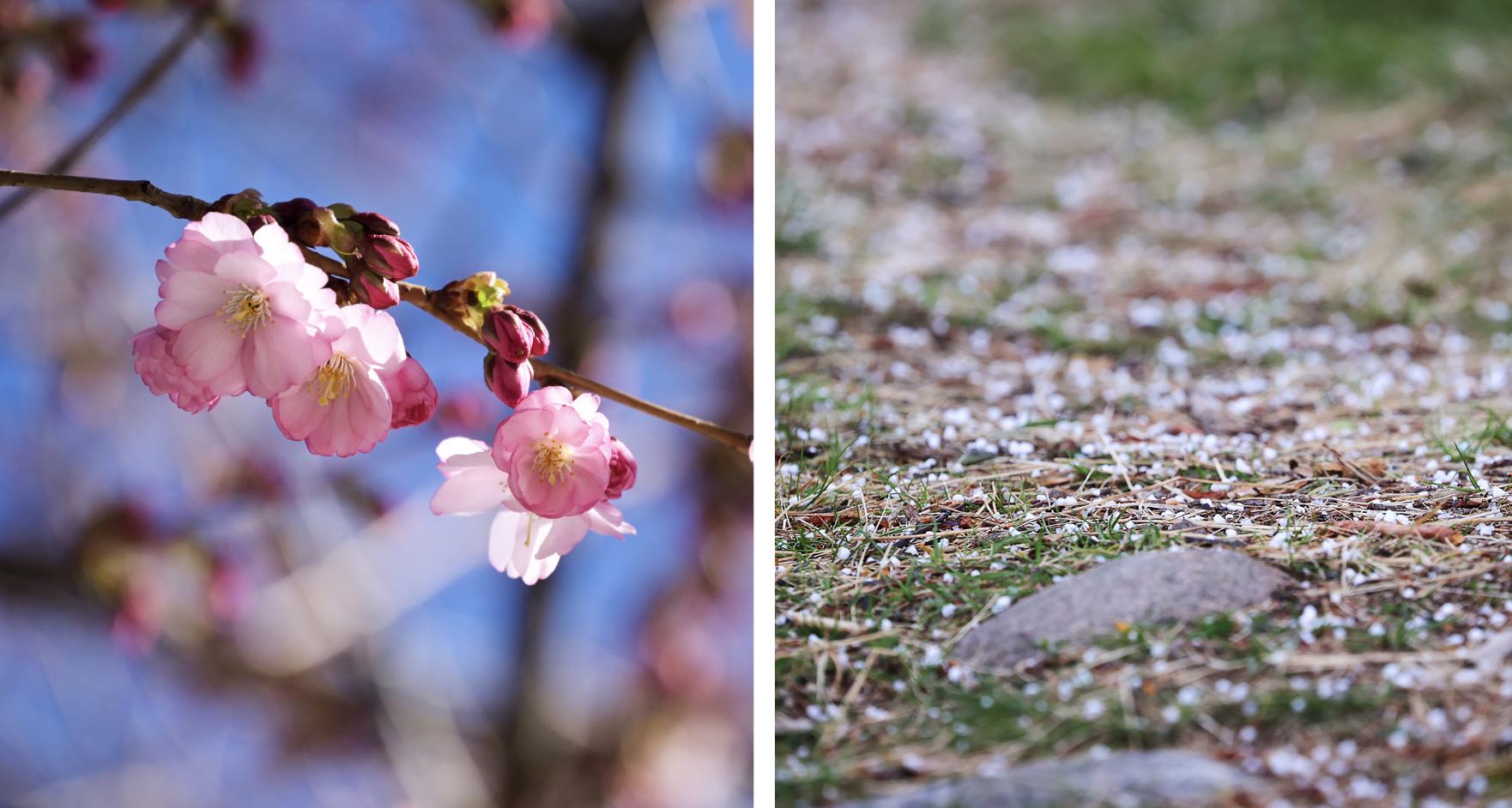 Två bilder. Den enda på körsbärsblommor. Den andra på hagel som ligger på marken.