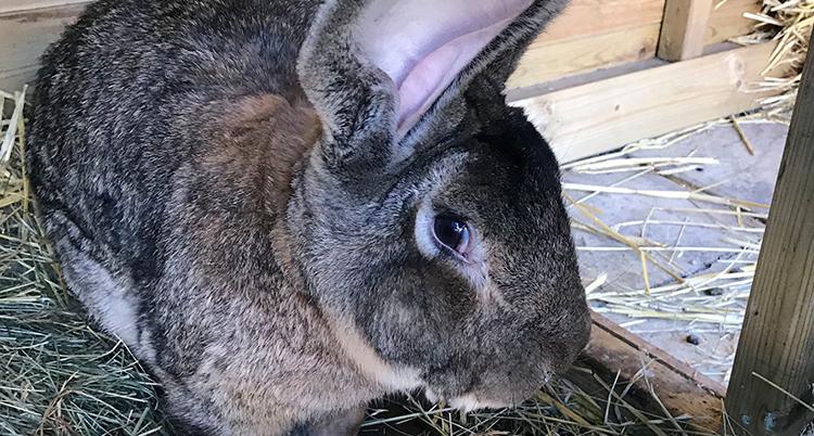 En nära bild på den stora kaninen.