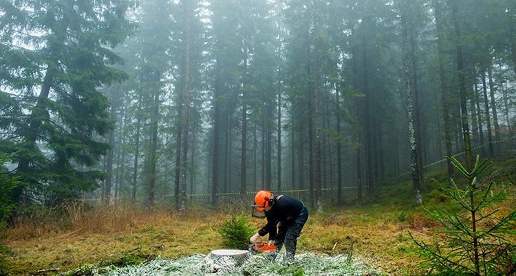 en man hugger ner ett träd omgiven av höga tallar.