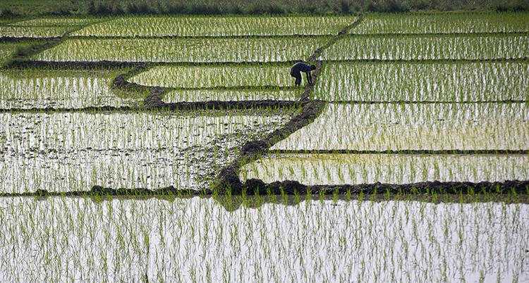En vattentäckt risodling.