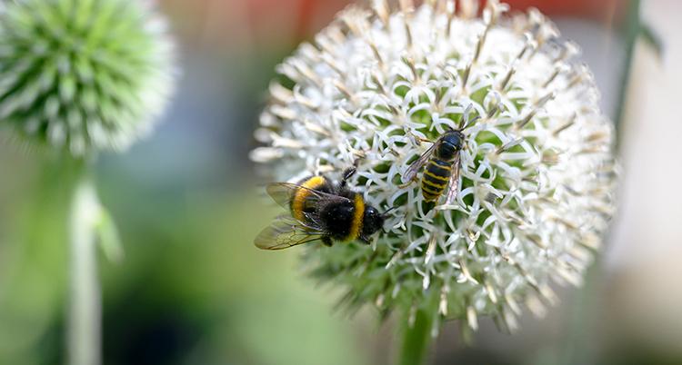 En nära bild på insekterna och blomman.