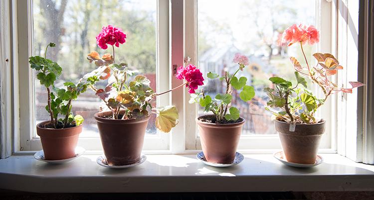 Fyra blommor i krukor står i ett fönster.