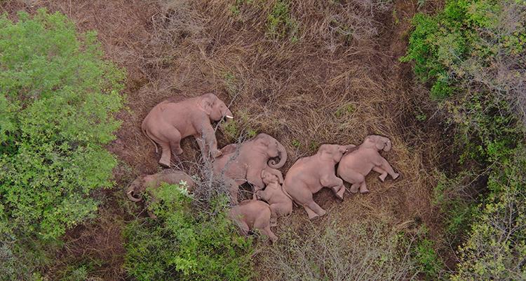 En flock med elefanter ligger på en brun mark och sover. Bilden är tagen ovanifrån. Det finns gröna träd omkring dem.