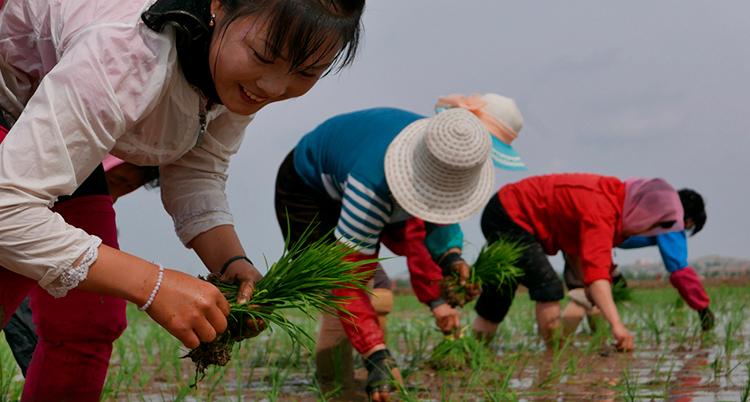 Människor planterar ris på ett risfält.