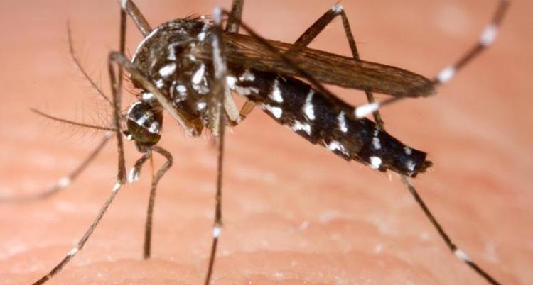 En mygga i närbild.