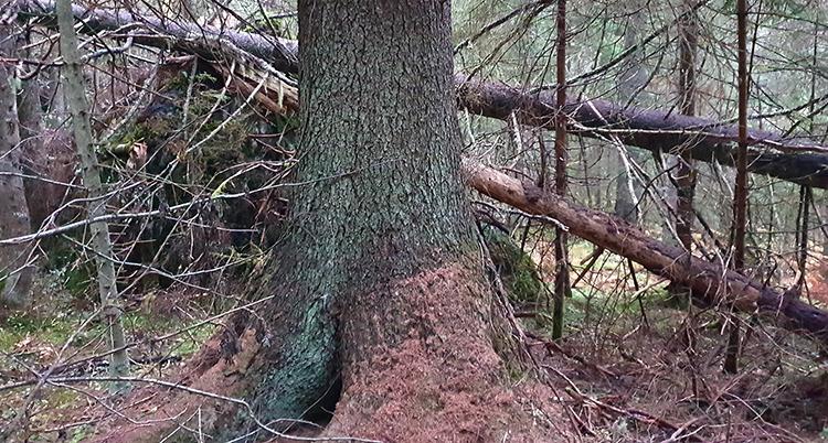 Bild på Sveriges högsta träd som nu är dött.