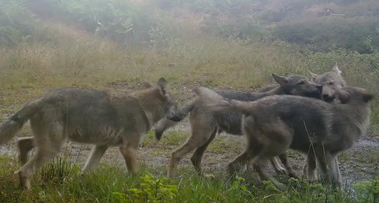 En ganska suddig bild visar fyra vargar som går och några nafsar i varandra.