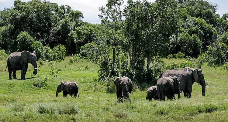 Flera elefanter går runt bland gräs och träd.